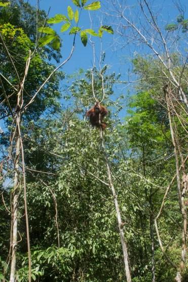 Orang-Oetan in het wild in de boom sumatra