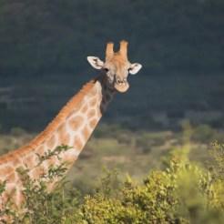 PIlanesberg Zuid Afrika giraffe