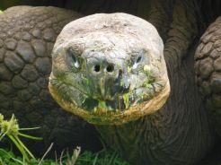 Reuzenschildpad, Santa Cruz