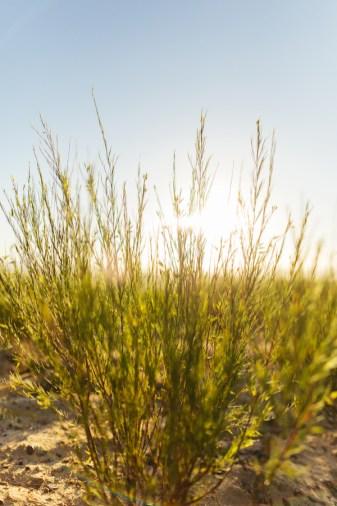 Rooibos plant in de zon
