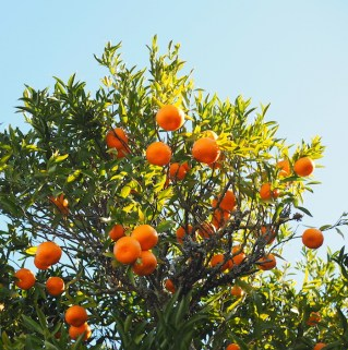 Sinaasappelbomen noord portugal