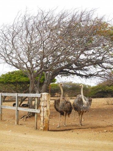 Struisvogels kijken bij de struisvogel farm op curacao