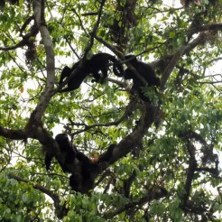Tikal Guatemala jungle apen