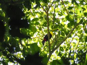 Toekan zip lining costa rica jungle