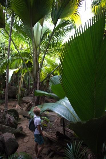 Vallee de mai groot blad jungle praslin seychellen