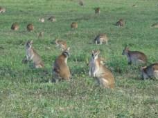 Wallabies dieren in australie
