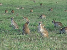 Wallabies dieren in australie