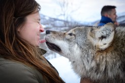 Wolf kiss Polar Park Noorwegen