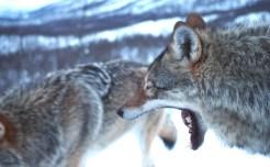 wolven gaap noorwegen
