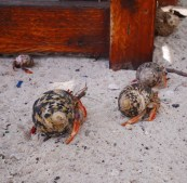 Zoo krabben miss ann klein curacao