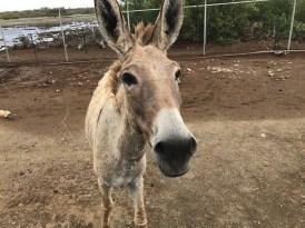 bonaire-donkey-sancturary-2