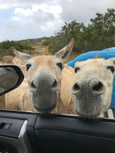 bonaire donkey sancturary vanuit de auto