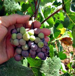 druiven wijnen zuid afrika