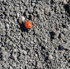 lieveheersbeestje etna sicilie