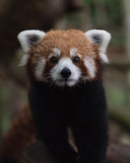 lorraine rode panda 22