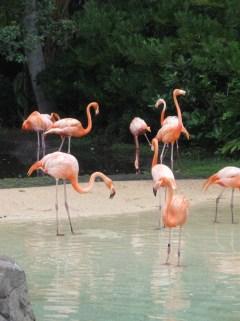 SeaWorld flamingo's
