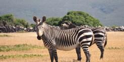 Zebra's in zuid-afrika