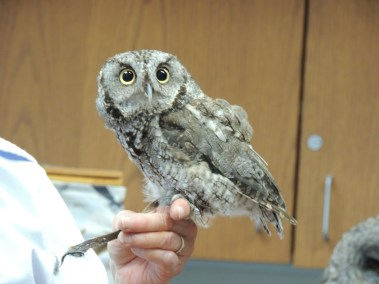 Screech Owl taken by A. Wier