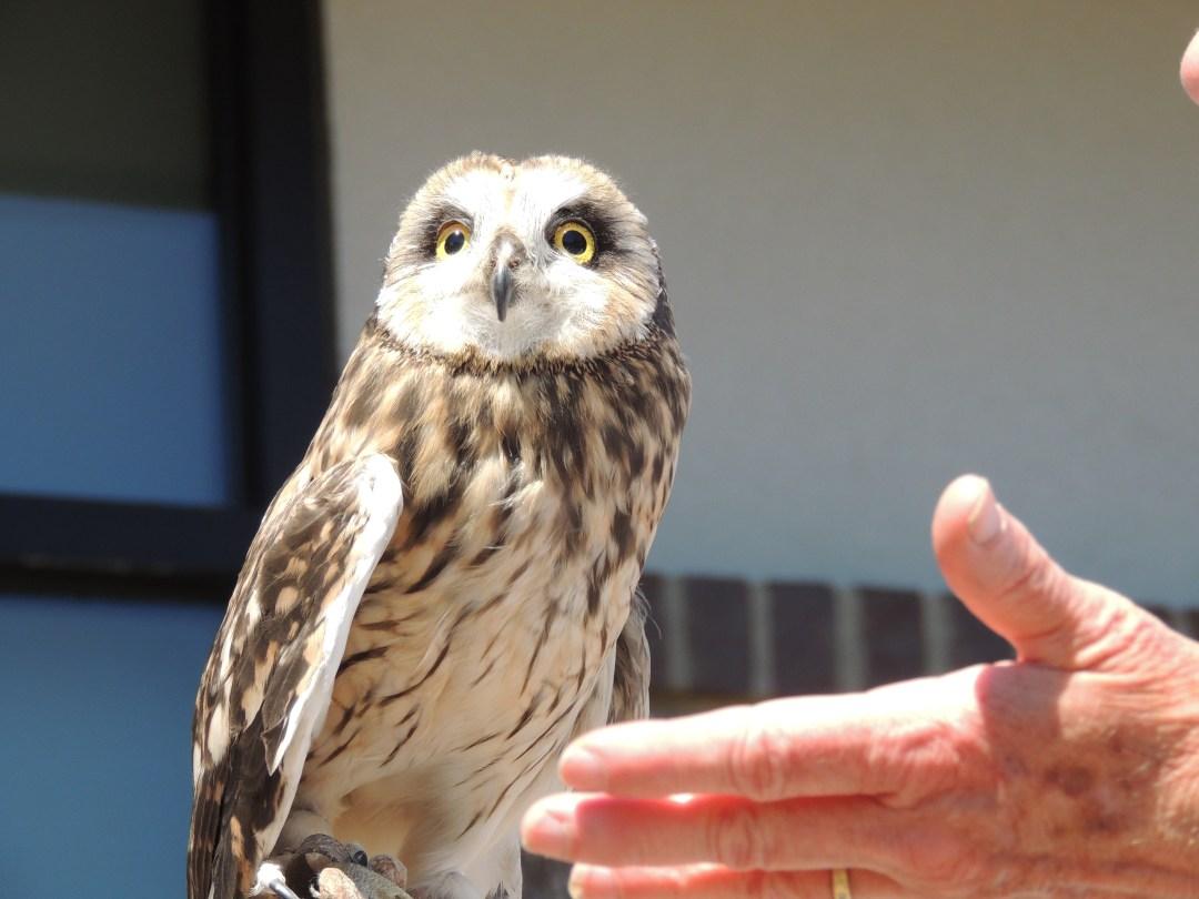 Small Eared  Owl taken by A. Wier