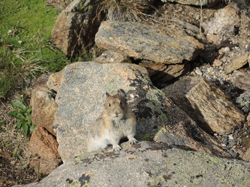 American Pika on the rocky terrain of RMNP's alpine tundra region.  Image Credit: The Weather Gamut.