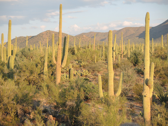 Saguaro National Park, Arizona.  Photo Credit: The Weather Gamut