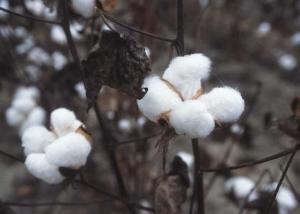 Spinning King Cotton
