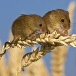 Harvest-mice-on-an-ear-of-004