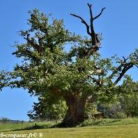 Le Châtaignier des Bellieux - Découverte de la Drôme