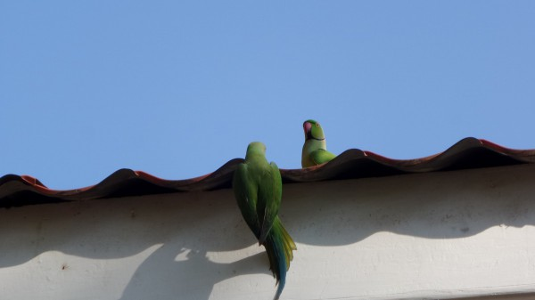 Papageien sind von dem Menschenauflauf reichlich unbeeindruckt…