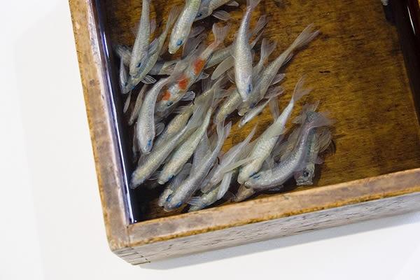 pinturas-goldfish-hiperrealistas-riosuke-fukahori-02