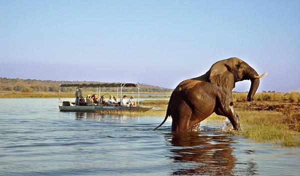 Éléphant dans la rivière Chobé
