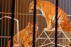 Tigres Hammamet