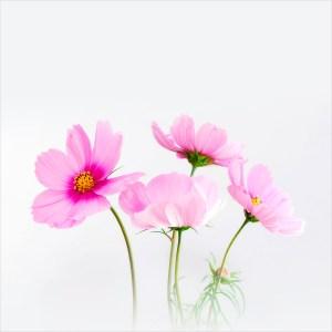 pinkcosmos-pxb-900×900-1