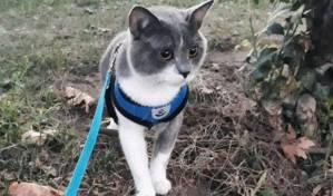 Kedi Gezdirme İpi Alırken Nelere Dikkat Etmeliyiz?