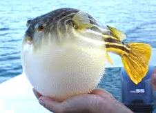 Image result for globe fish