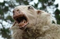 Откачена овца