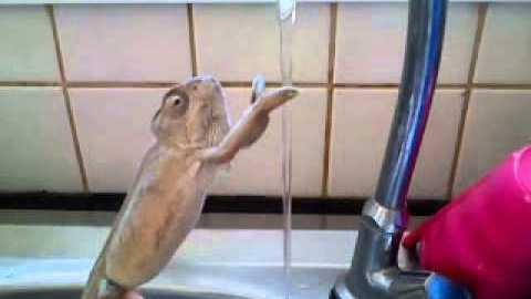 хамелеон си мие ръцете