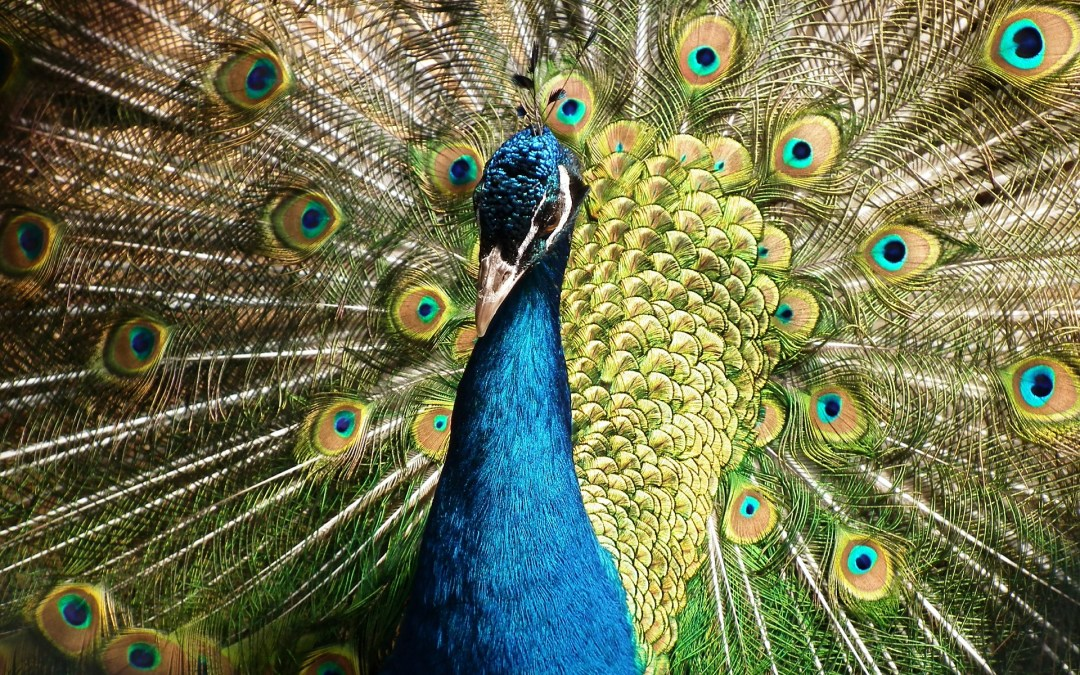 What does a Peacock and a good website have in common?