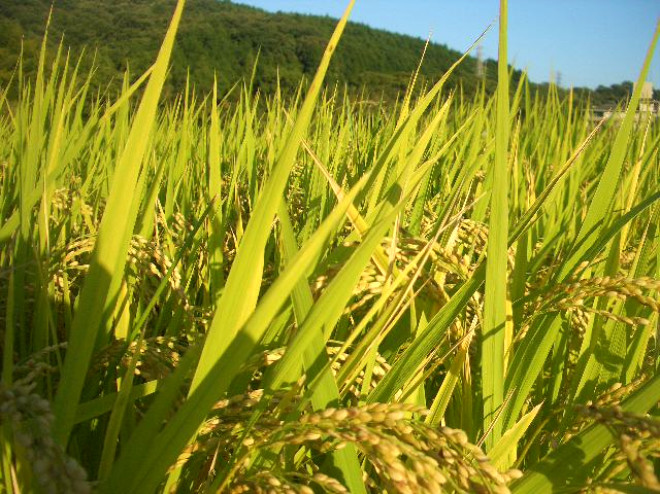 pirincin tarihsel gelişimi