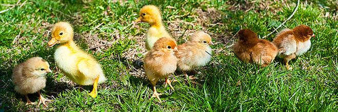 chicks and ducks