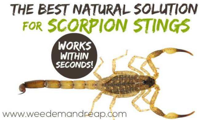 Let me tell you, when I found this solution for scorpion stings I ran around screaming in excitement. Every year we find a few scorpions in the house, and I'm always afraid one of the kids is going to get stung.