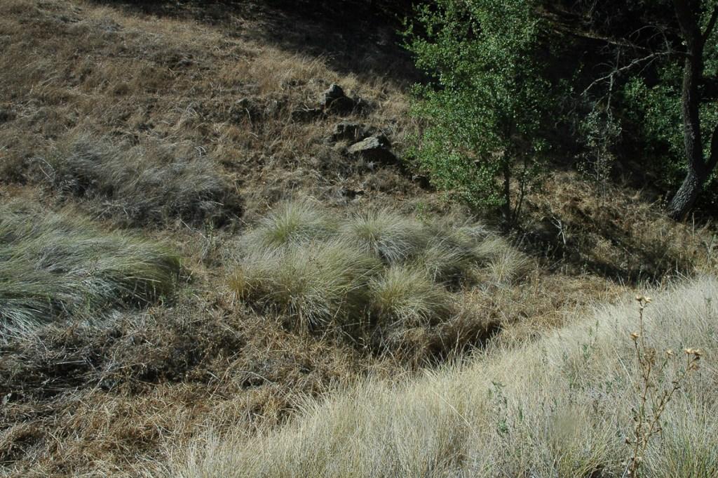Bunchgrass at Santa Rosa Plateau