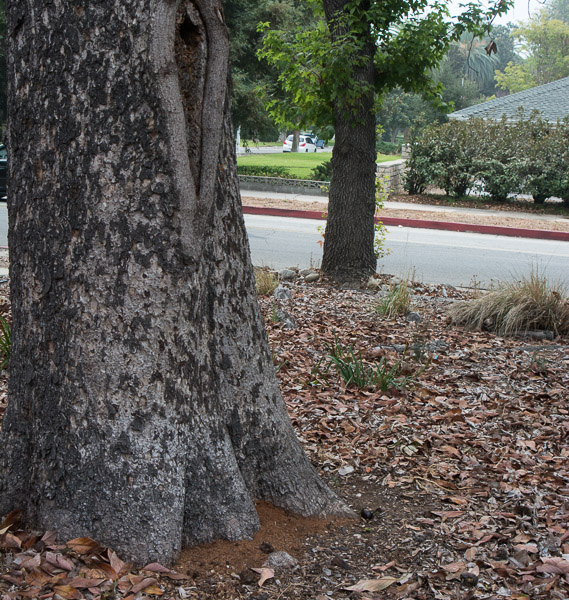 Bees living in a hive that had been in a large cavity of this tree suddenly  disappear. Within days ants are all over the trunk dropping wood from cavities. An arborist was consulted and he declared the tree unsafe with poor anchoring roots. During removal he noted that the tree swayed with the least pressure. (Oct 1, 2014)