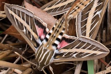 Whitelined sphinx moth