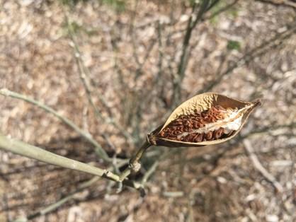 Seed capsule of desert milkweed