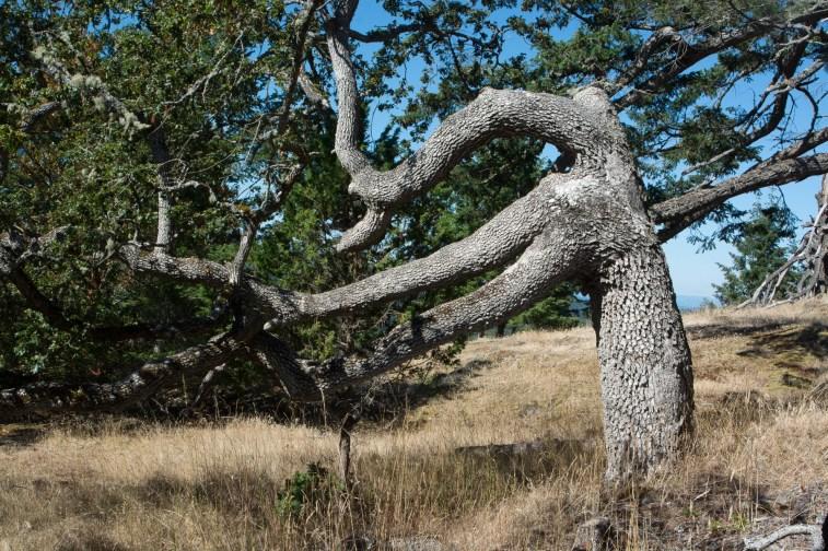 Old Oregon white oak