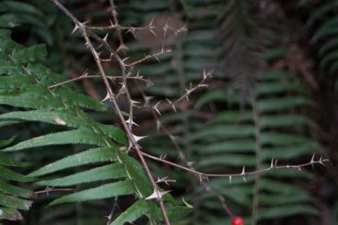 Rosa nutkana; Polystichum munitum