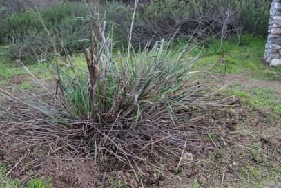 More careful weeding around native rye grass.