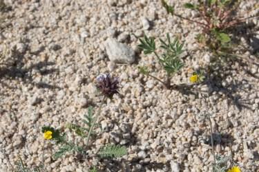Salvia columbariae, Eschscholzia minutilfora, Lupinus