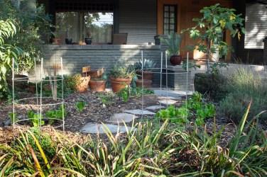 Lettuce in veg garden in front yard
